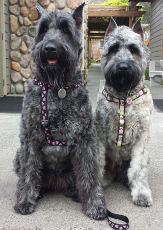 Chantal S Bouvier Des Flandres Hy